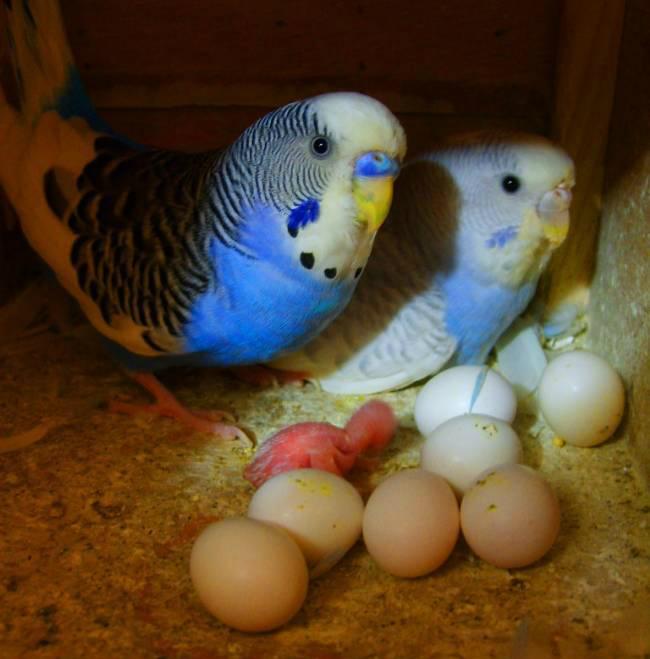 Folluk İçi Yumurtalar ve Muhabbet Kuşları