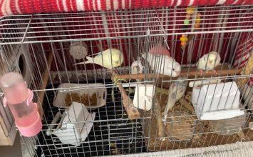 Muhabbet Kuşu Yumurtladıktan Sonra Nelere Dikkat Edilmelidir