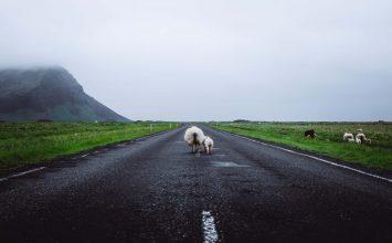 Keçi ile koyunun hikayesi