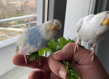 Muhabbet kuşları esner mi